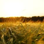 barley-1117282